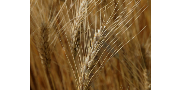 A shift in summer rain patterns has created a need for Kansas wheat growers to be on heightened awareness for leaf rust. (Courtesy of K-State Research and Extension)