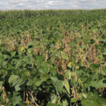 White mold in soybean. (Courtesy of University of Minnesota Extension)