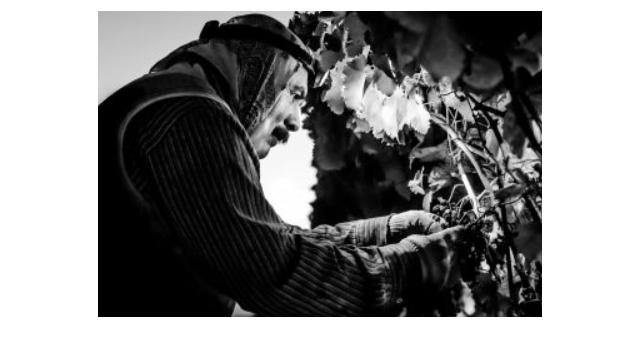 Grape harvest photo wins CFBF contest