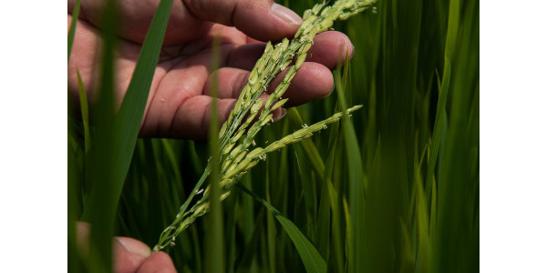 Drought and salinity-resistant rice at an International Center for Tropical Agriculture research site in Vietnam. (Courtesy of International Center for Tropical Agriculture / Georgina Smith)