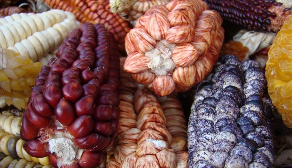 Scientists overhaul corn domestication story