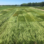 2018 winter barley research plots at the MSU W.K. Kellogg Biological Station. (Photo by Brook Wilke)