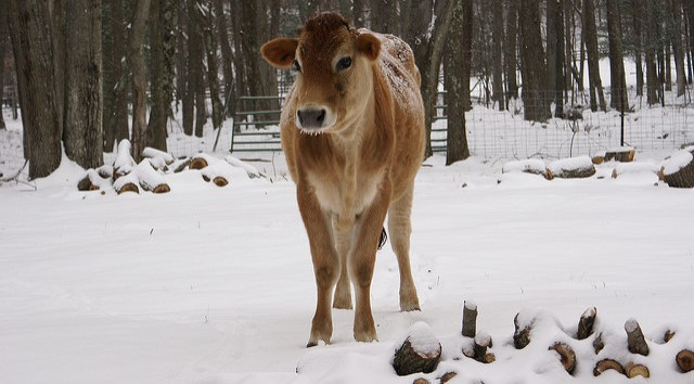 Prepare calves for an extra chilly winter