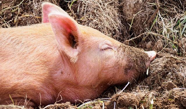 Hog cholera crisis deepens in Japan