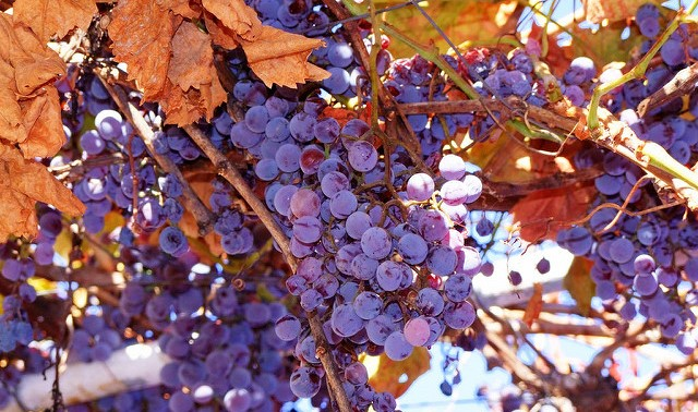 Strengthening NY's Concord grape industry
