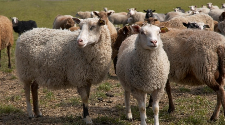 America's Sheep Producers support farm bill