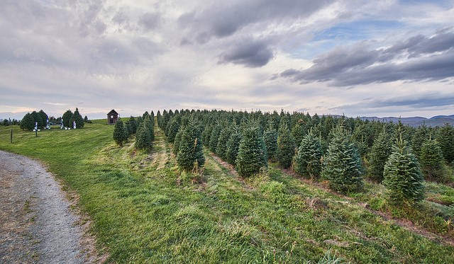 Christmas tree farmers battle rise of artificial trees