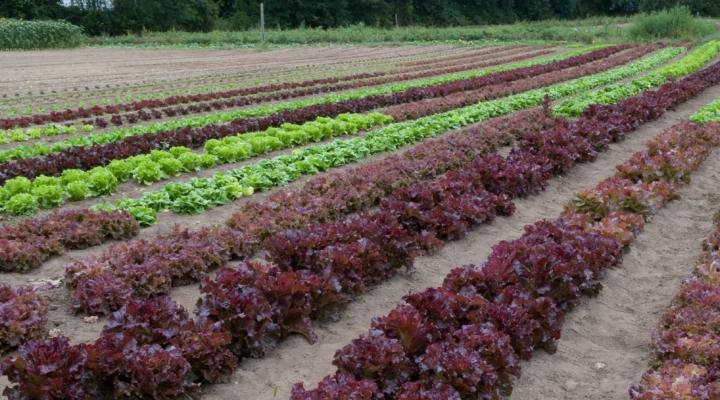 New findings on romaine lettuce E. coli outbreak
