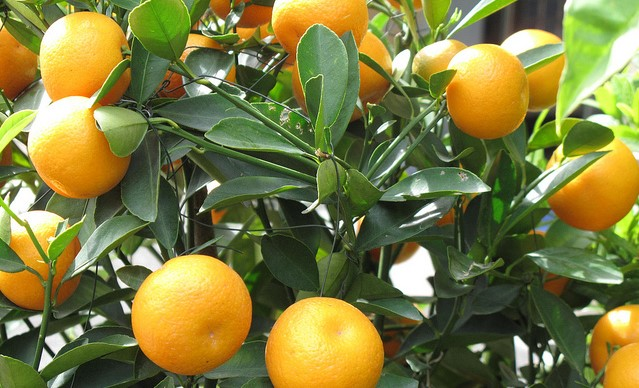 Citrus growers welcome cooler temperatures