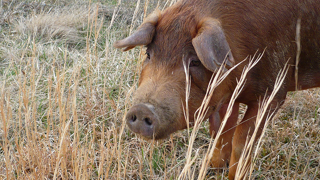 3rd case of hog cholera infection found in Japan