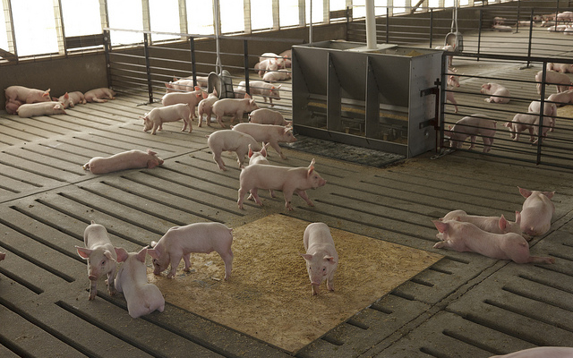 Judge rules no punishing Smithfield Foods for hog complex