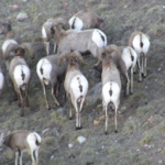 Colorado Parks and Wildlife biologists are heading to the skies to assess deer, elk and bighorn sheep populations by taking low-altitude helicopter flights in the mountain regions of southeast Colorado as well as on the eastern plains. (Courtesy of CPW)