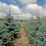 """What's New in Christmas Tree Production?"" is a five-week webinar series that will feature current Christmas tree research projects from leading researchers. (Photo by Jill O'Donnell, MSU Extension)"