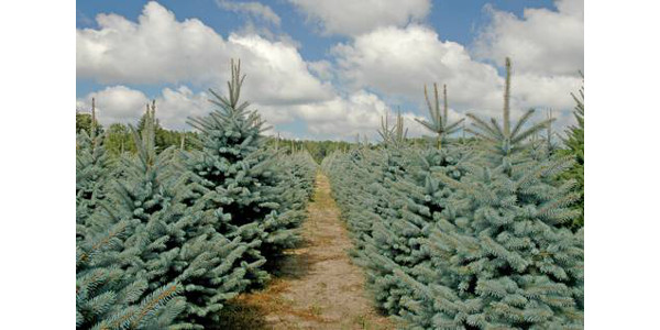 Christmas tree research series starts Jan. 30