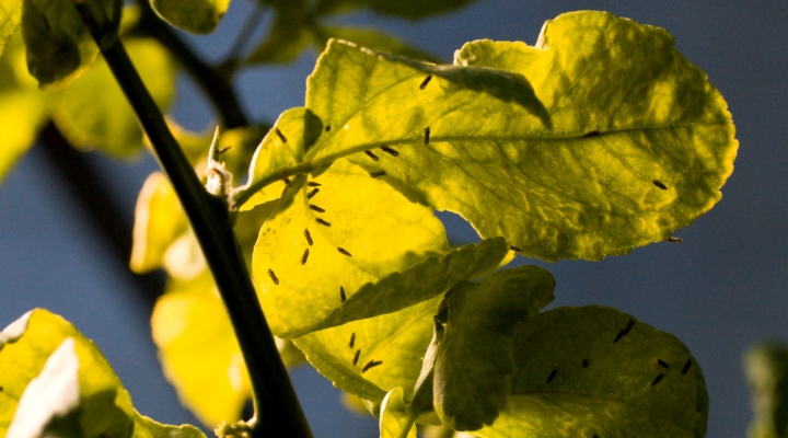 Growers to learn about citrus pest management