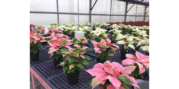 Poinsettias grown (by Amy Lentz) in Kentucky. The pink variety is Ecke's 'Enduring Marble'. (Courtesy of Amy Lentz)