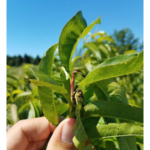 Oriental fruit moth damage to peach shoot. (Photo by David Jones, MSU Extension)