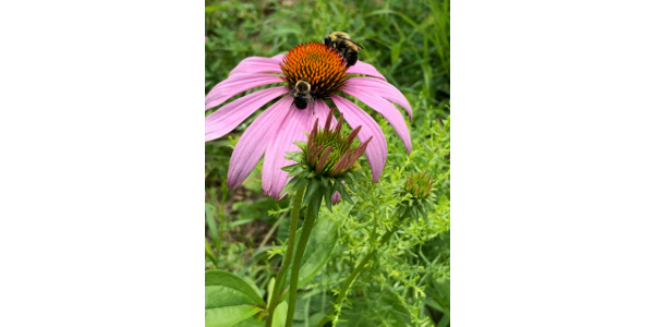 Minnesota high school students can help establish habitat for imperiled insect pollinators and monarch caterpillars. (Courtesy of Sand County Foundation)