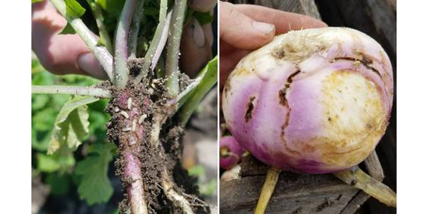 Figure 1. Cabbage maggots and their damage in turnips. (Courtesy of MSU Extension)