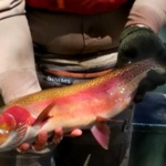 A Gunnison River rainbow trout after it was caught last May during spawning operations by Colorado Parks and Wildlife biologists. Because they are resistant to deadly whirling disease, Gunnison River rainbow trout are being spawned so that strain of rainbows can be stocked in rivers across the state. (Photo courtesy Colorado Parks and Wildlife / Bill Vogrin)