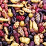 Photo 1. Sample of the genetic diversity within potatoes. (Photo courtesy of the International Potato Center)