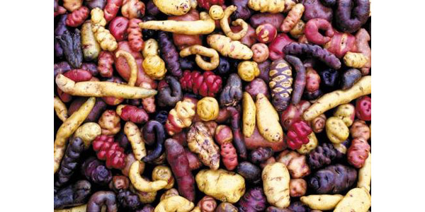 Photo 1. Sample of the genetic diversity within potatoes. (Photo courtesy of the International Potato Center)