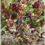 Photo 1. 'Pinot Noir' vine with leafroll-like symptoms close to harvest near Traverse City, Michigan, in September 2018. (Courtesy of MSU Extension)