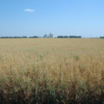 Oat hay is prone to accumulating nitrates when grown under environmental stress. (NDSU photo)