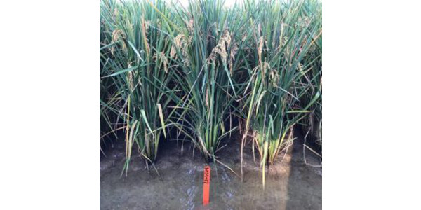 Researchers in Southeast Missouri State University's Department of Agriculture along with the Missouri Rice Research and Merchandising Council (MRRMC) have announced a new rice variety bred in southeast Missouri now available to growers for the coming season. (Courtesy of Southeast Missouri State University)