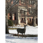 A deer outside NCTA's Ag Hall on Dec. 5. (Rosati/NCTA photo)