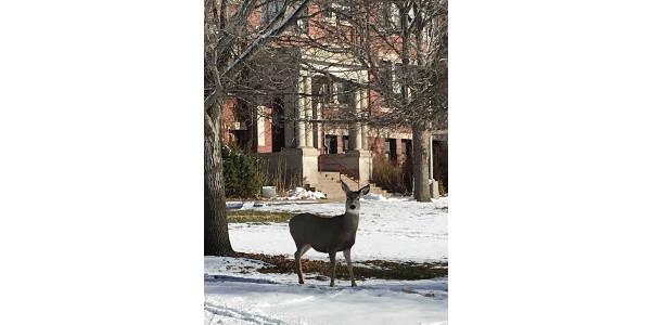 A deer outside NCTA's Ag Hall on Dec. 5. (Rosati/NCTA photo)