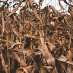 Corn research at the Mason Technology Center in 2018 focused on nitrogen fertilizer rates, end-of-season stalk nitrate-nitrogen (N) and drone imaging. (Courtesy of MSU Extension)