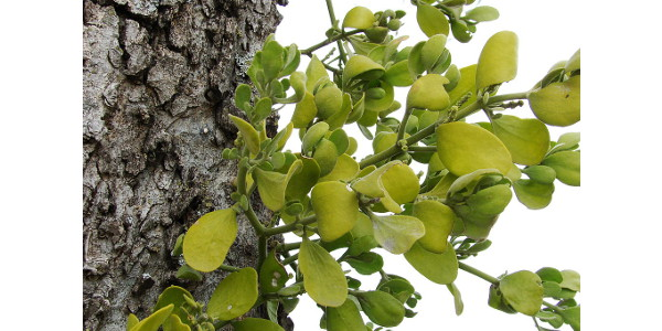American mistletoe. (Credit: Photo by David R. Tribble; shared under a Creative Commons License (CC BY-SA 3.0).)