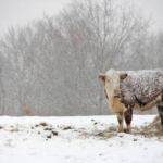 Being prepared during cold, winter weather will help your livestock winter a little easier. (Courtesy of MSU Extension)