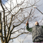 Oak trees, generally pruned for safety reasons and the health of the tree, should be pruned during winter months. (Photo: triocean/stock.adobe.com)