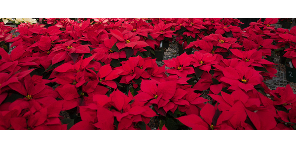 poinsettia-crop