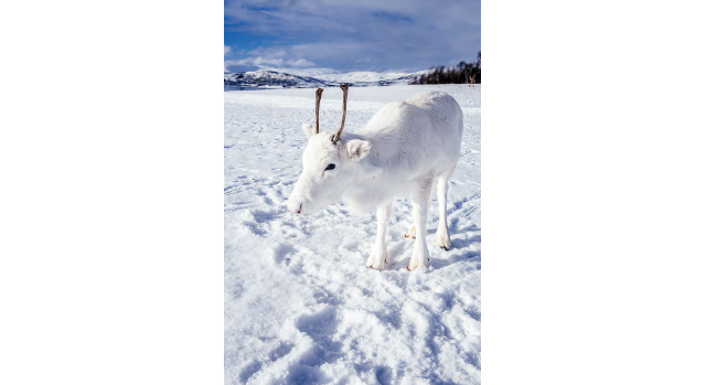 Photographer captures rare white baby reindeer while hiking