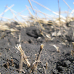 Fall 2018 has brought late fertilizer applications followed by cold temperatures and freezing soils. (Courtesy of University of Minnesota Extension)