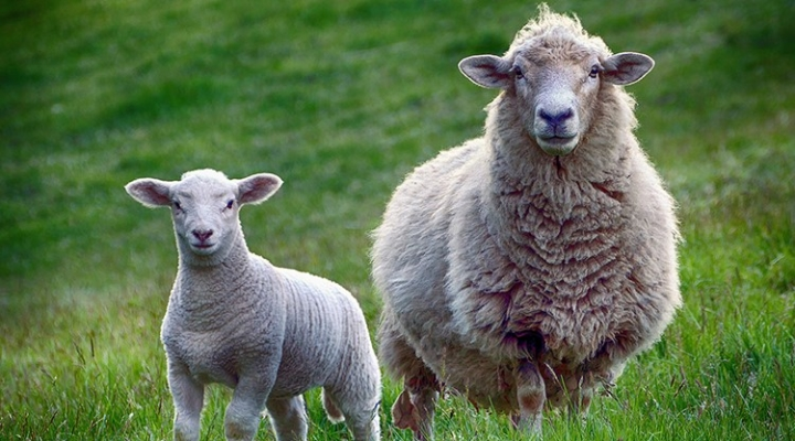 Commercial Sheep Production Webinars