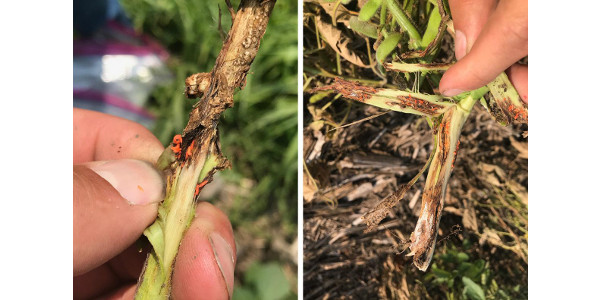 Peeling back the outer layer of a soybean stem reveals large numbers of orange soybean gall midge larvae feeding. (Courtesy of UNL)