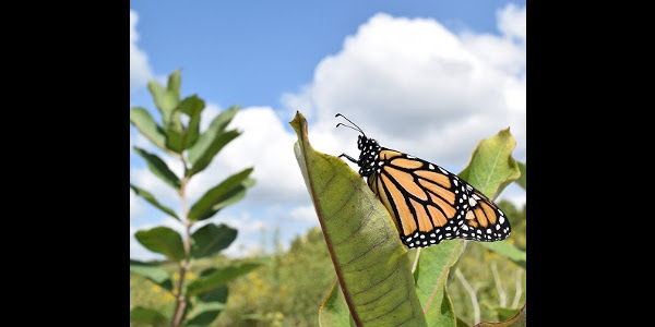 Iowa, in the center of the monarch's summer breeding range, has a goal to establish hundreds of millions of new milkweed stems across 480,000 to 830,000 acres, by 2038. (Courtesy of ISU Extension)