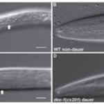 C. elegans with and without DEX-1 protein. (Courtesy of University of Illinois)