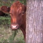 Silvopasture—an agroforestry practice that combines sustainable management of forage, livestock and woodlands—lowers the concentration of atmospheric greenhouse gases while raising cattle for income, improving woodlands and improving water resources. (Courtesy of University of Minnesota Extension)