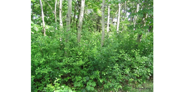 This forest has the invasive shrub common buckthorn invading the understory and would be a good candidate for invasive plant management. (Courtesy of Minnesota Department of Agriculture)