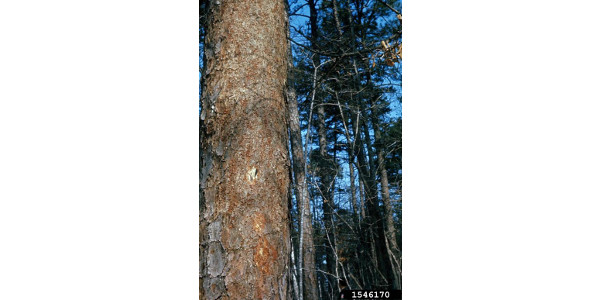 Bark removed from a tree infested with bark beetles by woodpeckers searching for the insects. (C Doggett, Bugwood.org)