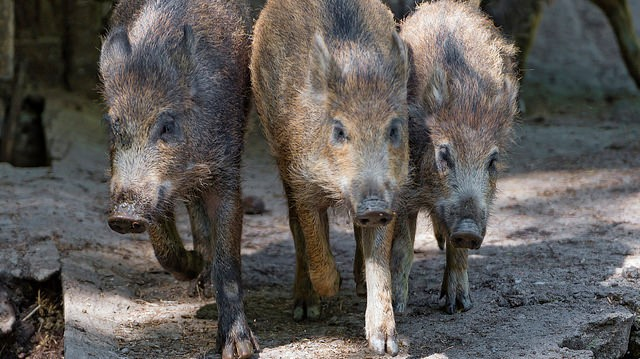 EU OKs Poland's wild boar slaughter