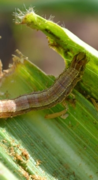 Scientists forecast fall armyworm movement