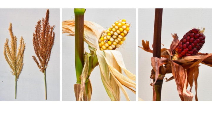 Unraveling a 58-year-old corn gene mystery