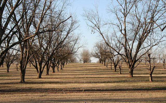 'Avalon' a quality cultivar for Georgia pecan farmers