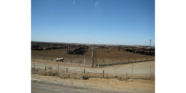 A CAFO in California. (Ernesto Andrade via Flickr)